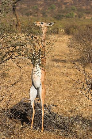 Samburu NP Feeding Gerenuk