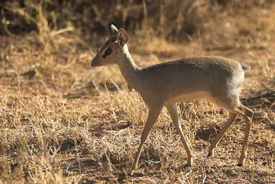 Samburu NP Female Dik-Dik