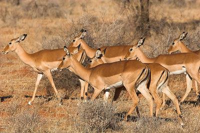 Samburu NP Impala Harem