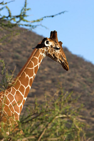 Samburu NP Reticulated Giraffe Profile