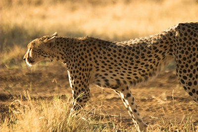 Samburu NP Cheetah in Morning Light