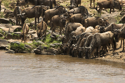 Masai Mara NR Wildebeest Drinking in Mara River
