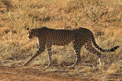 Samburu NP Cheetah Stalking