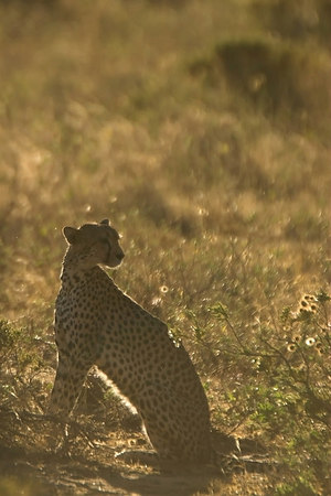 Samburu NP Cheetah at Sunrise