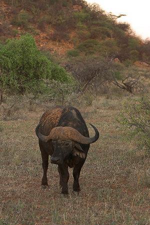 Samburu NP African Buffalo