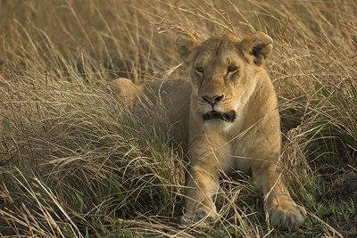 Masai Mara NR Young Lioness