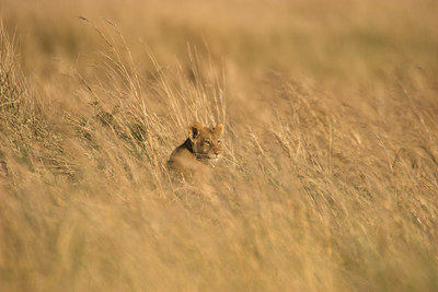 Masai Mara NR Lion Cub in Grass