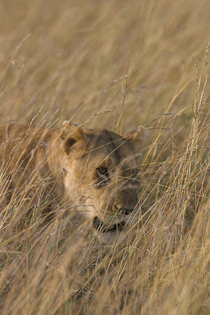Masai Mara NR Lioness in the Grass