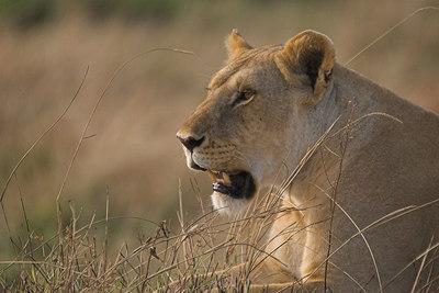 Masai Mara NR Lioness