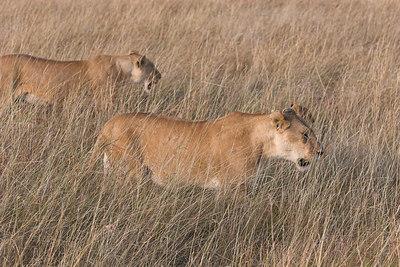 Masai Mara NR Stalking Lions