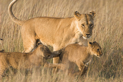 Masai Mara NR Lioness with Cubs