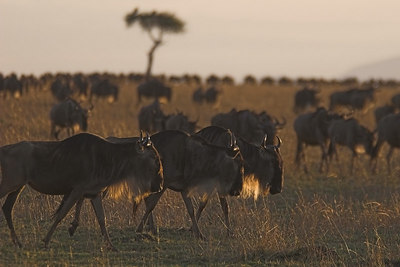 Masai Mara NR Migrating Wildebeest