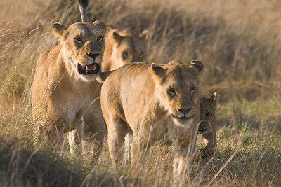 Masai Mara NR Lions and Cub