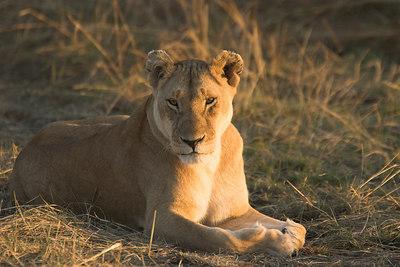 Masai Mara NR Lioness at Sunrise