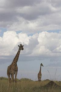 Masai Mara NR Masai Giraffes