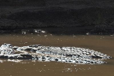 Masai Mara NR Nile Crocodiles