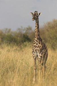 Masai Mara NR Young Masai Giraffe