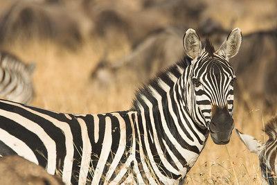 Masai Mara NR Zebra & Wildebeest Herd