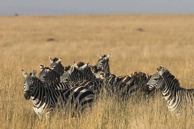 Masai Mara NR Zebras in Grass