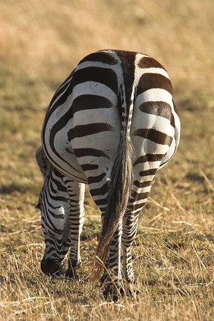 Masai Mara NR Zebra Grazing