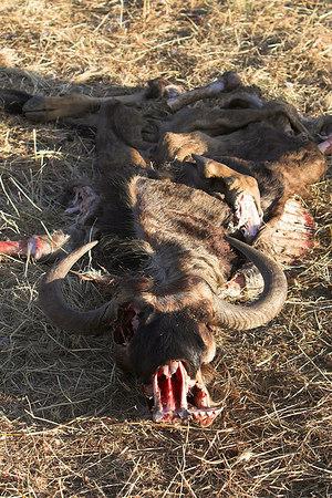 Masai Mara NR Wildebeest Carcass