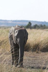 Masai Mara NR Young Elephant
