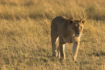 Masai Mara NR Scouting Lioness