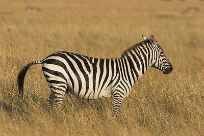 Masai Mara NR Male Zebra