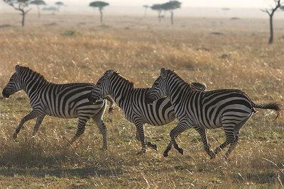 Masai Mara NR Galloping Zebra