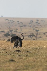 Masai Mara NR Female Ostrich