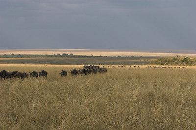 Masai Mara NR Wildebeest marching Single File