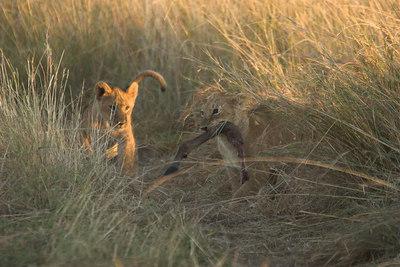 Masai Mara NR Lion Cubs with Antelope Leg