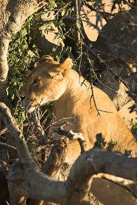 Masai Mara NR Lioness in Tree