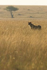 Masai Mara NR Lioness in Grass