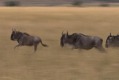 Masai Mara NR Running Wildebeest
