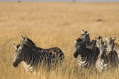 Masai Mara NR Zebra Running Through Grass