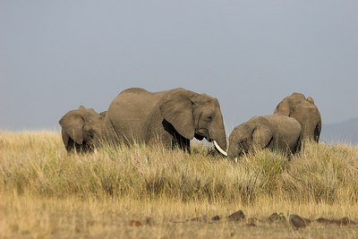 Masai Mara NR Elephants & Grass