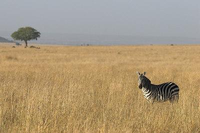 Masai Mara NR Zebra in Grass