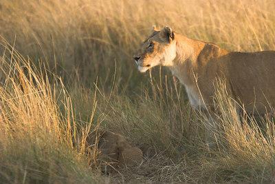 Masai Mara NR Lioness with Cubs