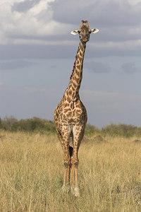 Masai Mara NR Masai Giraffe
