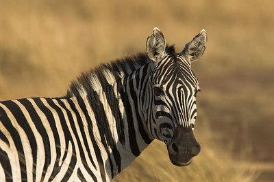 Masai Mara NR Zebra Close-Up