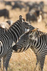 Masai Mara NR Grooming Zebras