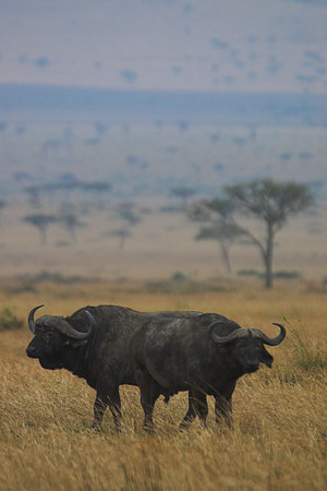 Masai Mara NR Two-Headed Buffalo
