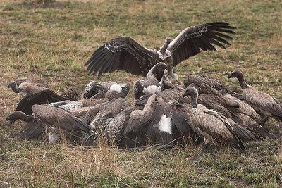 Masai Mara NR Vultures on Wildebeest Kill
