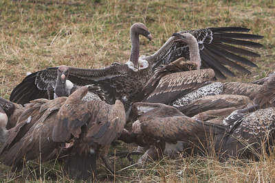 Masai Mara NR Vultures on Wildebeest Kill