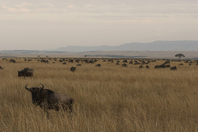 Masai Mara NR Wildebeest Herd