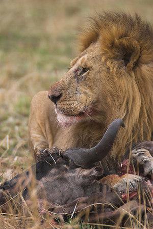 Masai Mara NR Male Lion on Wildebeest Kill