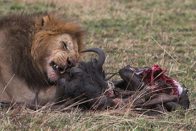 Masai Mara NR Male Lion on Wildebeest Kill