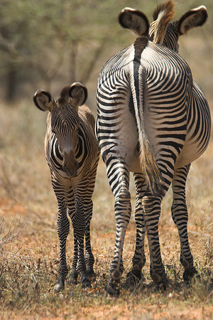 Samburu NP Grevy's Zebra with foal