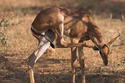 Samburu NP Gerenuk